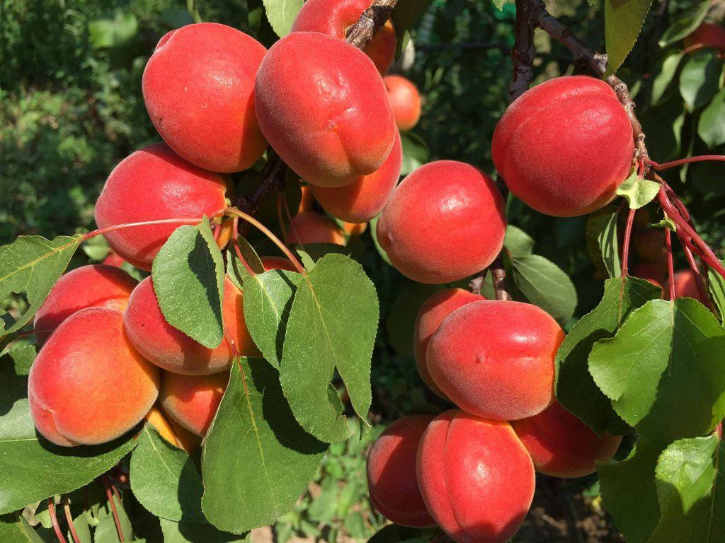 Aprikosen hängen am Baum