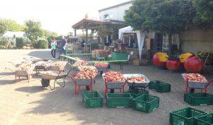 Viele Schubkarren voll gefüllt mit frisch gepflückten Äpfeln stehen auf dem Appel Happel Hof