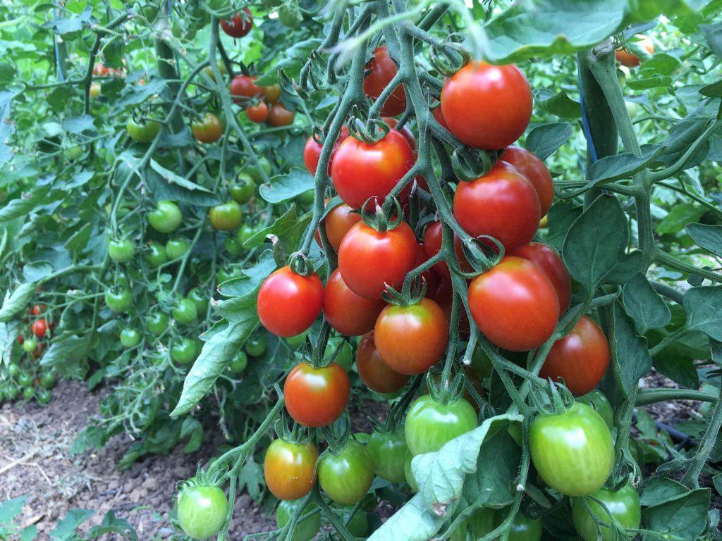 Grüne und rote Tomaten an der Tomatenpflanze