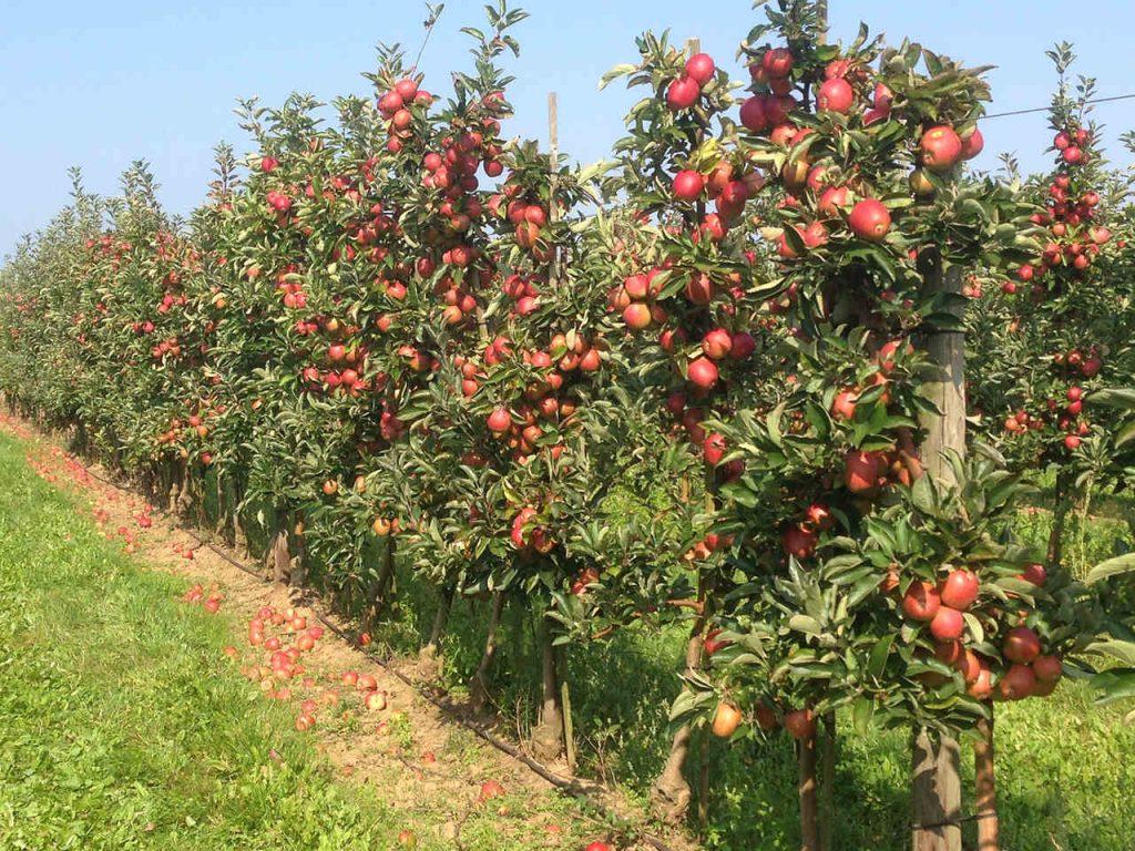 Apfelbäume in einer Reihe mit roten frischen Äpfeln